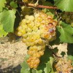 Grappolo di uva Famoso o Rambëla.